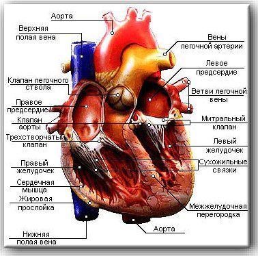 В среднем, масса сердца у