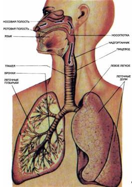 Рисунок 1. Схема системы дыхания.  Контроль за уровнем содержания кислорода в крови, особенно во время сна...